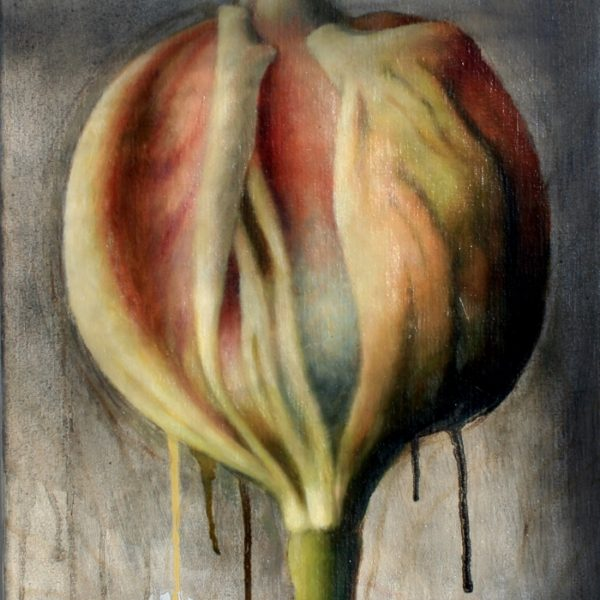 Tulipa Abricot Perfection 40x30 kr. 6.500